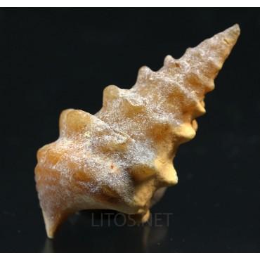 Fósil gasterópodo
