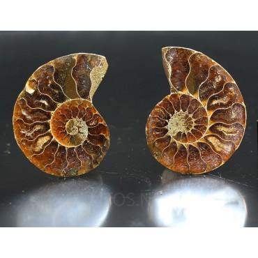 Fósil ammonite cleoniceras