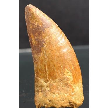 Carcharodontosarus saharicus