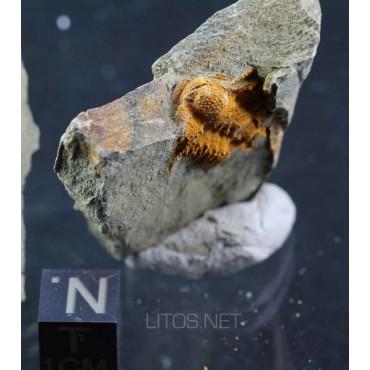Trilobite Solenopleuropsis F444