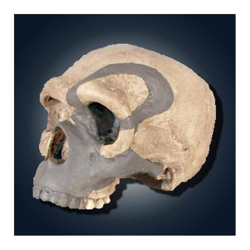 Homo sapiens steinheimensis reconstruido-PALEOANTROPOLOGIA