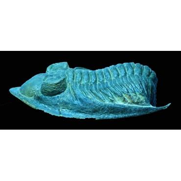 Trilobite odontochile spiny