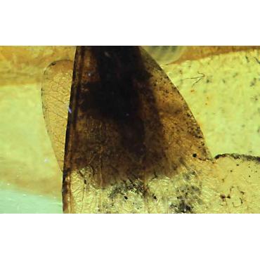 Ambar con insectos fósiles