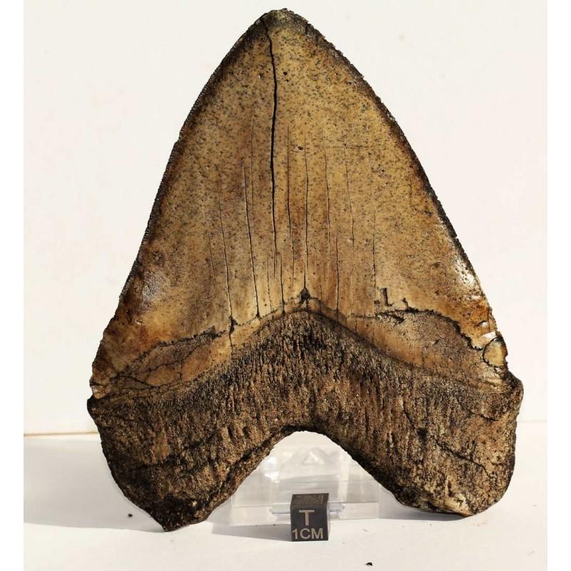 Diente de Carcharodon megalodon