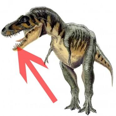 Diente de Tarbosaurus