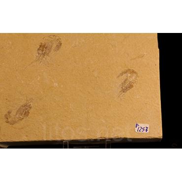 Crustáceo fósil