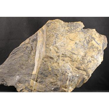 Alethopteris  bohémica