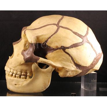 Homo neanderthalensis (king)