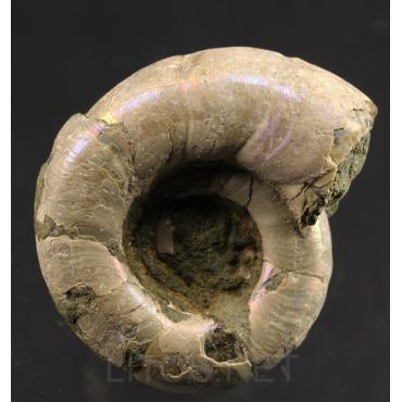 Ammonite eogaudryceras s.p.