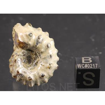 Ammonite Douvilleiceras mammilatum