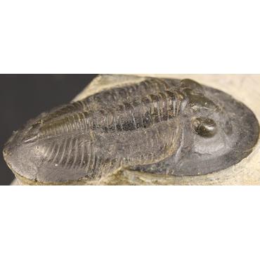 Dechenella burmeisteri