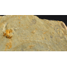 trilobite Solenopleuropsis