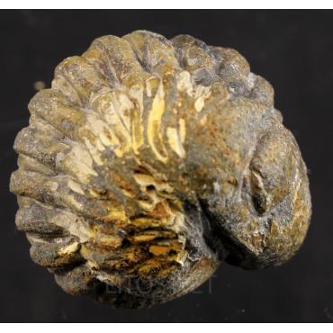 Phacops saberensis