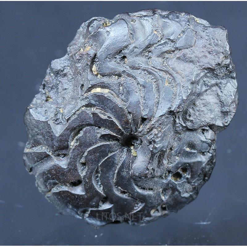 Fósil Goniatite F2820