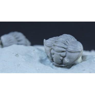 Trilobite flexicalimene