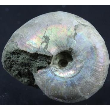 Ammonite puzosia s.p.