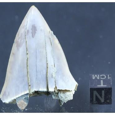 Isurus astalis F2883