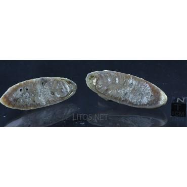 Piña fósil