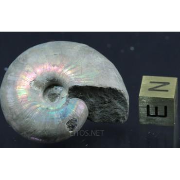 Fósil Ammonite Puzosia F2922