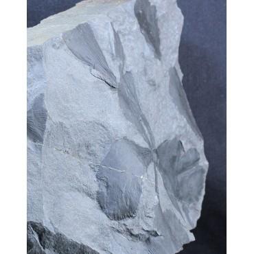 Parasphenophyllum crenatum F3026