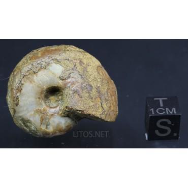 Fósil Ammonite puzosia F3036
