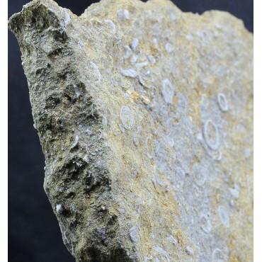 Fósil encrinita F3045