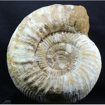 Ammonite perisphinctes