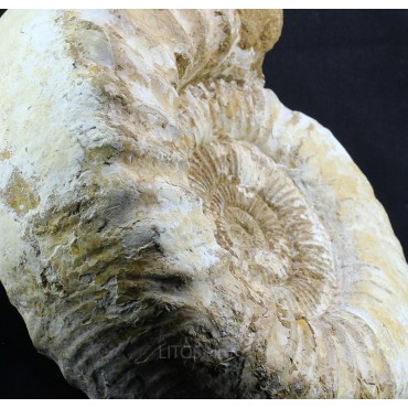 Fósil Ammonite perisphinctes F3051