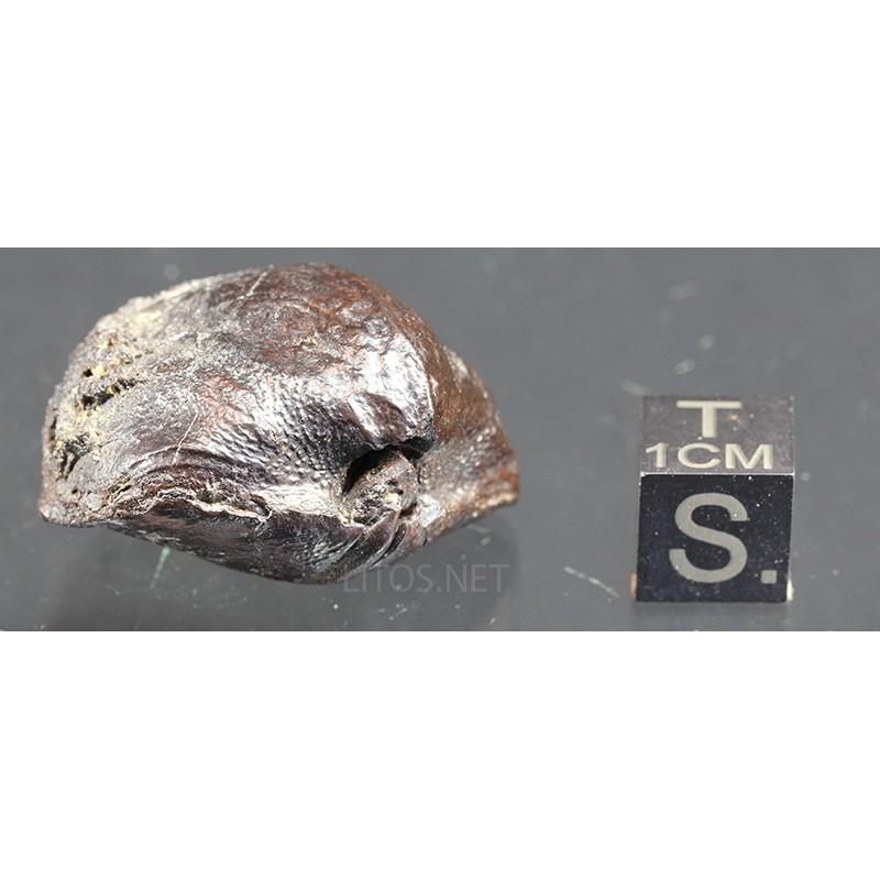 Fósil  Braquiópodo F3199