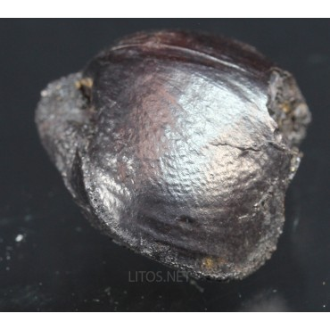 Braquiópodo fosil