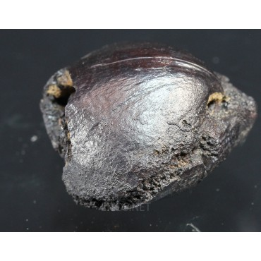 Fósil Braquiópodo F3316