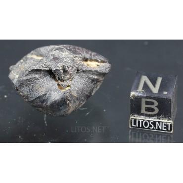 Fósil Braquiópodo F3317