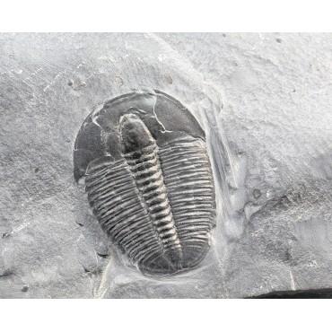Trilobite elrathia kingi