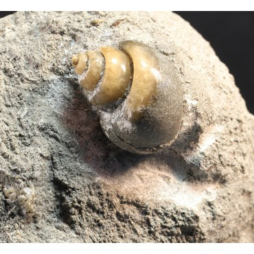 Gasterópodo fósil