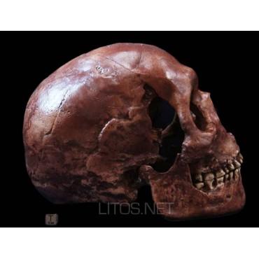 Homo sapiens fossilis,...