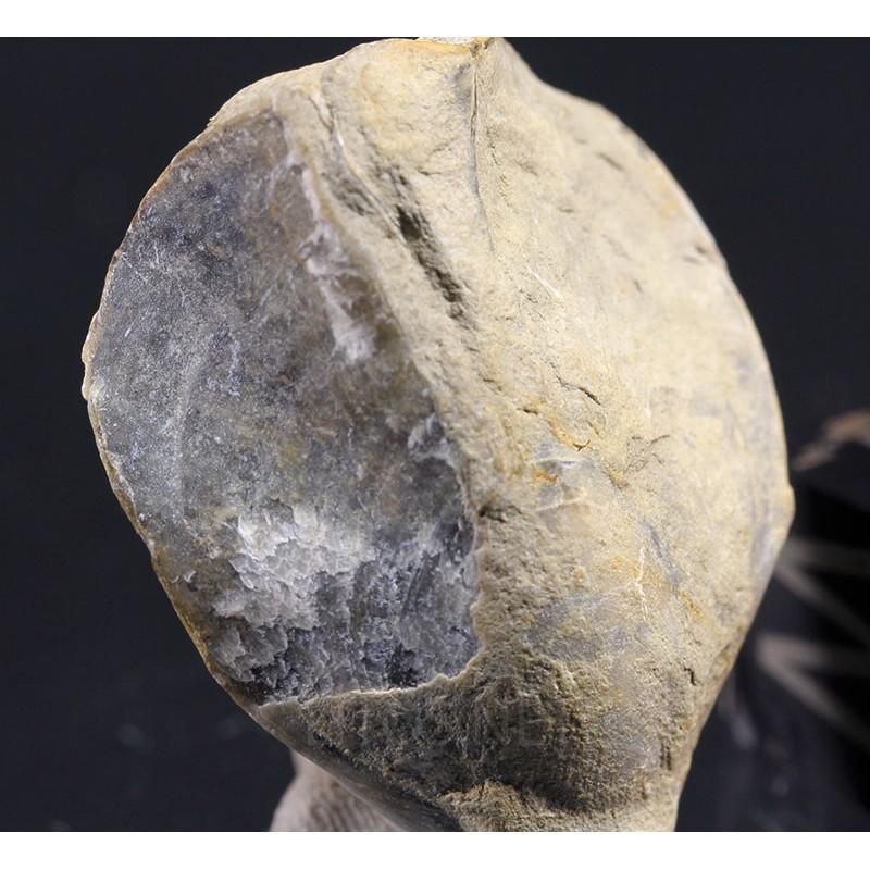 Fósil terebrátula