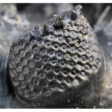 Fósil drotops armatus