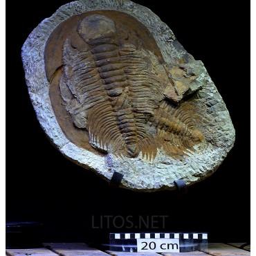 Fósil acadoparadoxides briaeus