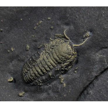 Fósil trilobite triarthrus