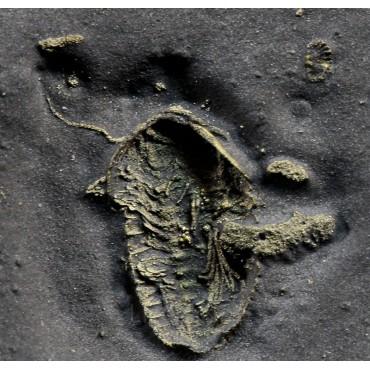 Trilobite Triarthrus