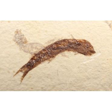 Fósil knightia eocaena